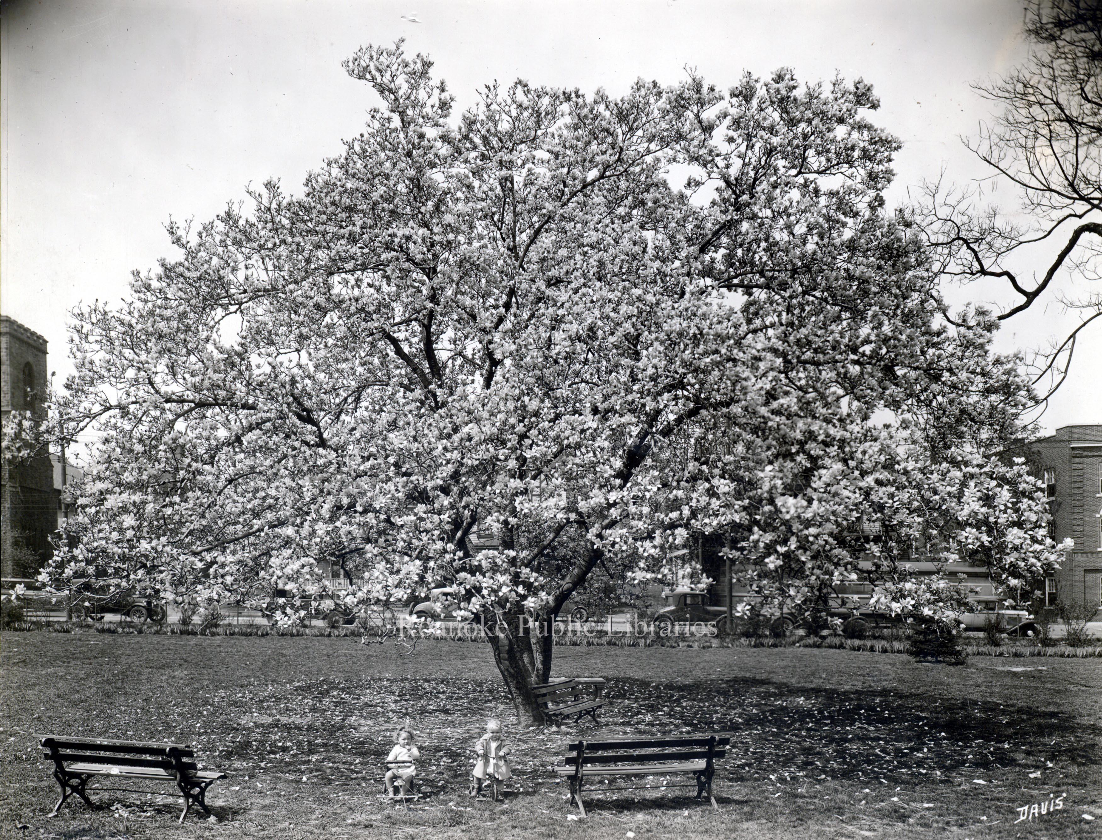 Davis 1.95 Japanese Magnolia.jpg