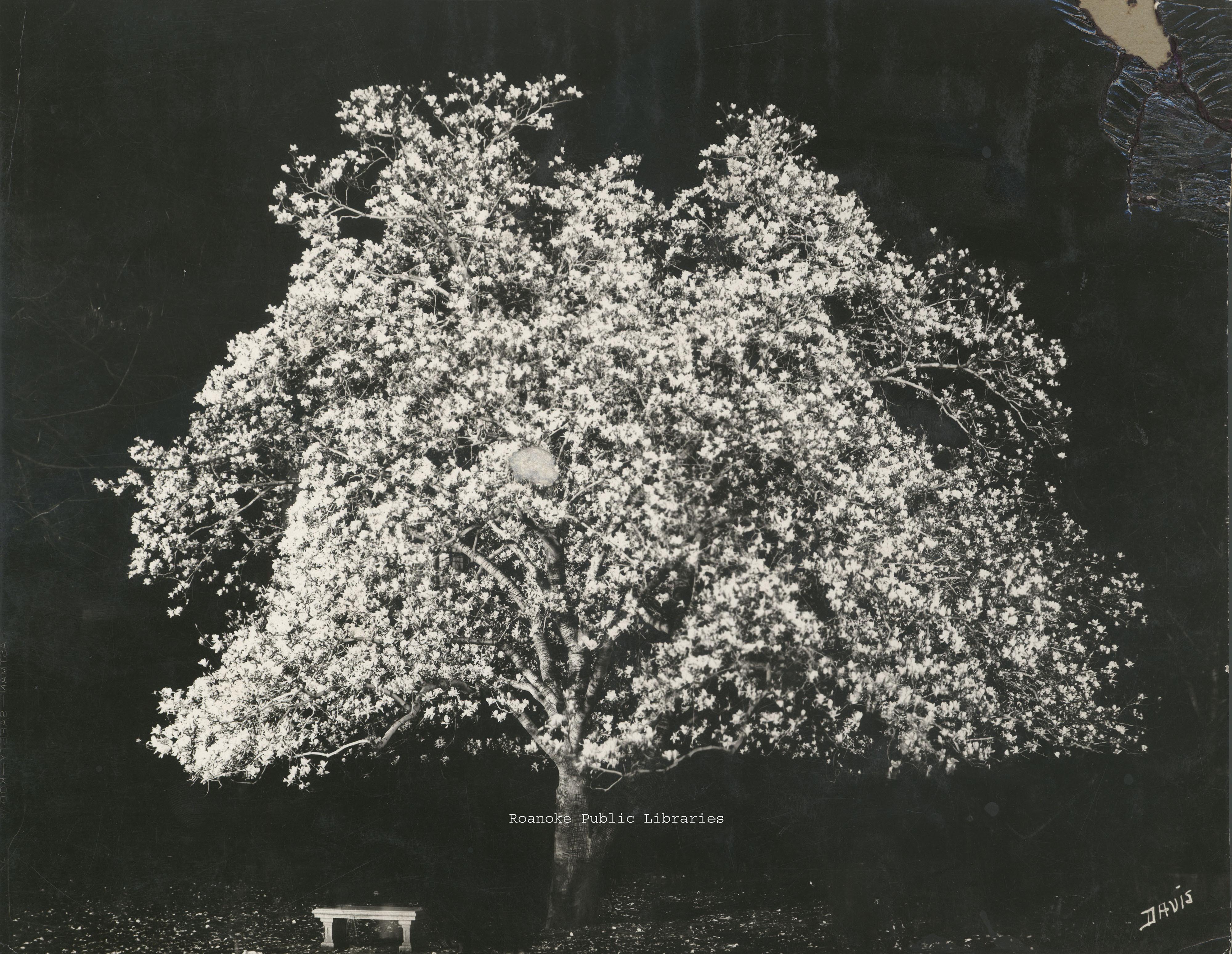 Davis 1.951 Japanese Magnolia at night.jpg