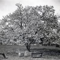 Davis 1.95 Japanese Magnolia