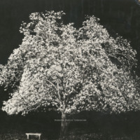 Davis 1.951 Japanese Magnolia at night
