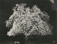 Davis 1.951 Japanese Magnolia at night.jpg