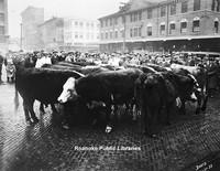 Davis 3.14 Cows on Market.jpg