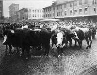 Davis 3.15 Cows on Market.jpg